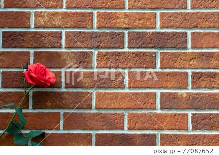 レンガの壁際に咲く薔薇 タイトルバック 77087652