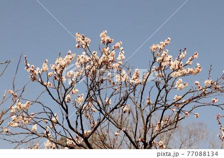 ♯早春の木の花:梅の花:白梅:梅林:山田池公園 77088134