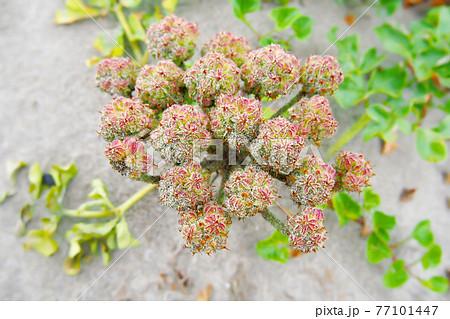 海の砂浜に咲く花・ハマボウフウ (海浜植物) 77101447