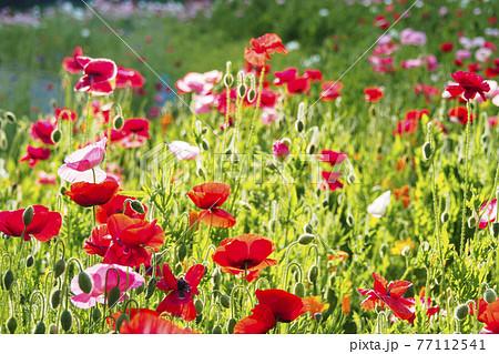 湘南三浦半島の花の名所景勝地神奈川県横須賀市久里浜の花の国のポピー 77112541