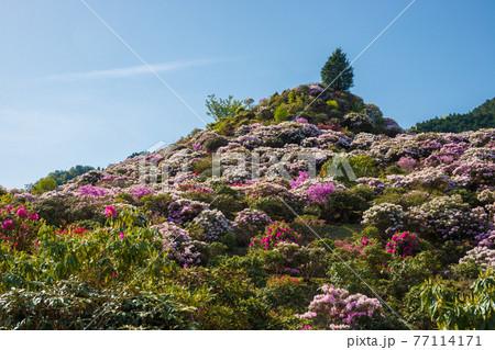 星の花公園のシャクナゲ 77114171