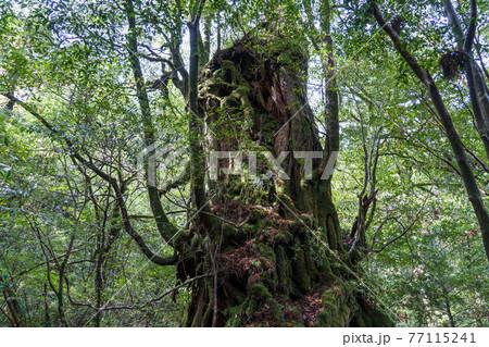 屋久島 白谷雲水峡にある武家杉・公家杉 77115241