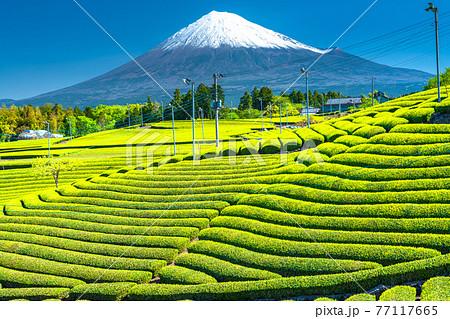 《静岡県》富士山と茶畑の風景 77117665