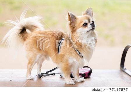犬 ペット 散歩中のチワワ 77117677