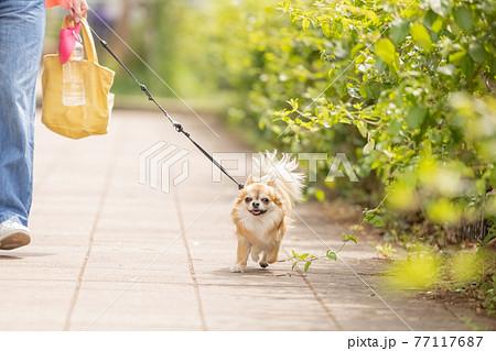 犬 ペット 散歩中のチワワ 77117687