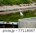 河の可動堰で獲物を探す鷺 77118067