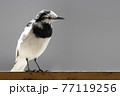 ハクセキレイ White Wagtail 77119256
