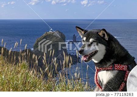 黒柴と青空に映える秋の神威岬 北海道 77119263