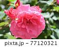 バラ(芳純) 77120321
