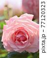 バラ(ブライダルピンク) 77120323