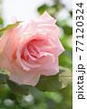 バラ(ブライダルピンク) 77120324