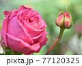 バラ(オーギュスト・ルノワール) 77120325