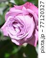 バラ(ブルーリバー) 77120327
