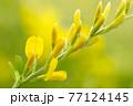 エニシダ Cytisus scoparius  77124145