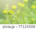 キンセンカ カレンデュラ 金盞花 Pot Marigold 77124308