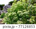 満開のポイズンヘムロックの花 77126853