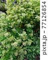 満開のポイズンヘムロックの花 77126854