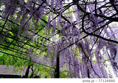 藤の花15(日本一長い藤棚・和歌山) 77126880