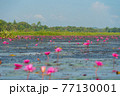 Pink lotus flowers in pond, sea or lake in national park in Thale Noi, Songkhla, Thailand. Nature landscape background. 77130001