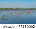 Pink lotus flowers in pond, sea or lake in national park in Thale Noi, Songkhla, Thailand. Nature landscape background. 77130002
