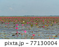 Pink lotus flowers in pond, sea or lake in national park in Thale Noi, Songkhla, Thailand. Nature landscape background. 77130004