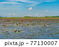 Pink lotus flowers in pond, sea or lake in national park in Thale Noi, Songkhla, Thailand. Nature landscape background. 77130007