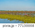 Pink lotus flowers in pond, sea or lake in national park in Thale Noi, Songkhla, Thailand. Nature landscape background. 77130008