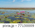 Pink lotus flowers in pond, sea or lake in national park in Thale Noi, Songkhla, Thailand. Nature landscape background. 77130009