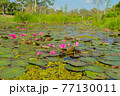 Pink lotus flowers in pond, sea or lake in national park in Thale Noi, Songkhla, Thailand. Nature landscape background. 77130011