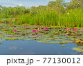 Pink lotus flowers in pond, sea or lake in national park in Thale Noi, Songkhla, Thailand. Nature landscape background. 77130012