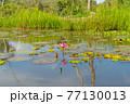 Pink lotus flowers in pond, sea or lake in national park in Thale Noi, Songkhla, Thailand. Nature landscape background. 77130013
