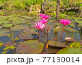 Pink lotus flowers in pond, sea or lake in national park in Thale Noi, Songkhla, Thailand. Nature landscape background. 77130014