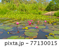Pink lotus flowers in pond, sea or lake in national park in Thale Noi, Songkhla, Thailand. Nature landscape background. 77130015
