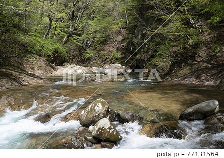 那須の渓流の川岸の新緑と川の流れ 77131564