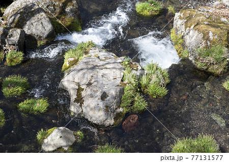 那須の渓流の川岸の新緑と川の流れ 77131577
