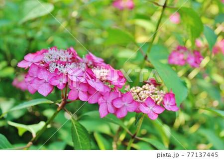 庭園に咲くあじさい 梅雨のイメージ 77137445