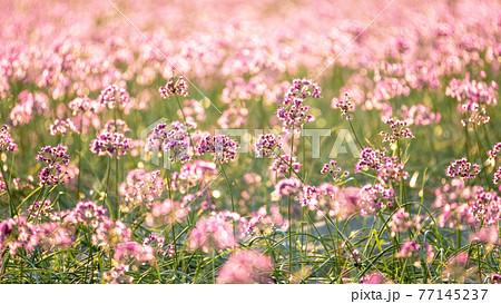 ラッキョウの花 (鳥取県北栄町産) 77145237