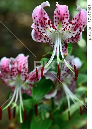 夏の観音寺に咲いた鹿の子百合 77147498
