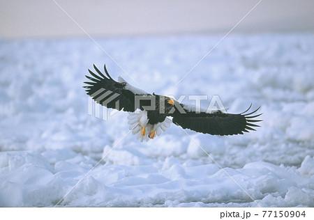 流氷上を飛ぶオオワシ(北海道・知床) 77150904