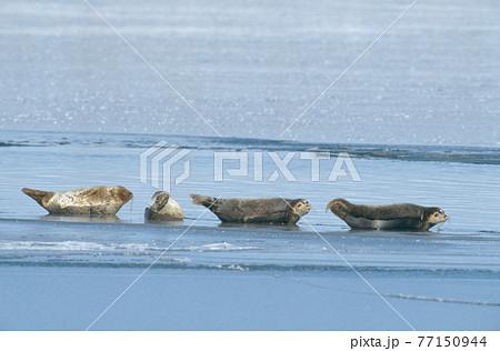 氷上で休むゴマフアザラシ(北海道・豊頃町) 77150944