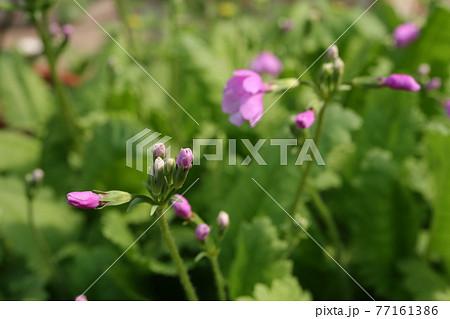サクラソウの花クローズアップ撮影 77161386