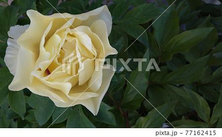 クローズアップした閉じた白色の牡丹の花 77162415