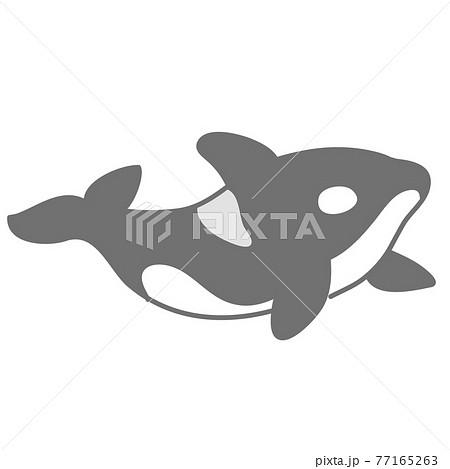 シャチ(オルカ)のイラスト 77165263