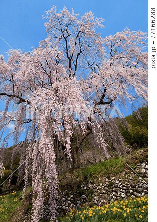 【春イメージ】満開のしだれ桜と青空 77166288