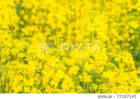 菜の花畑・春イメージ 77167145