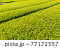 静岡県富士市の美しい茶畑 77172557