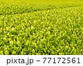 静岡県富士市の美しい茶畑 77172561