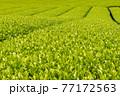 静岡県富士市の美しい茶畑 77172563