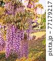 藤の花 77179217