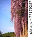 藤の花 77179287